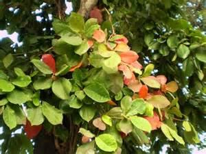 ต้นหูกวาง ประโยชน์ และสรรพคุณต้นหูกวาง | พืชเกษตร.คอม เว็บ