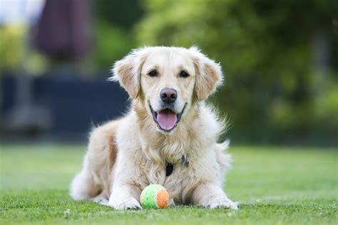 american kennel club dog breeds most popular dog breeds american kennel club top dog breeds