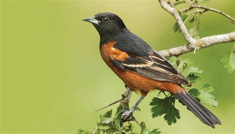 picture of a oriole bird all about orioles and how to attract them birds unlimited birds unlimited