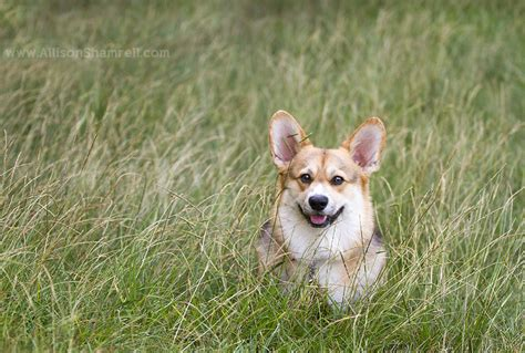 corgi puppies san diego wilson the san diego corgi in presidio park san diego pet photographer allison