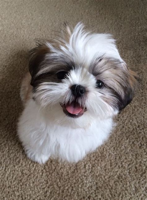 shih tzu puppies for sale in delaware 1000 images about shih tzu on maltese pets