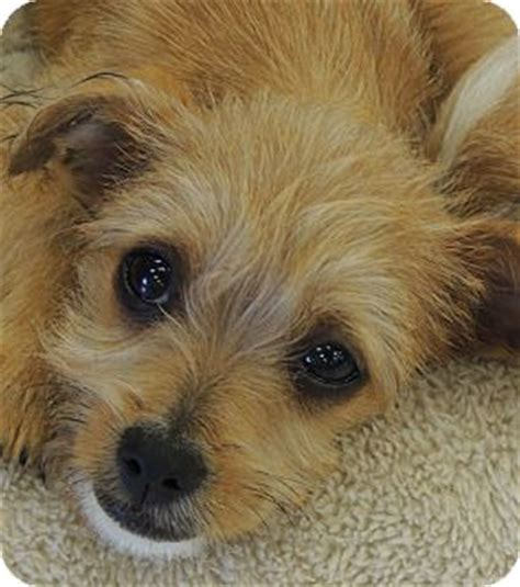 yorkie rescue southern california adopted puppy la habra heights ca terrier yorkie