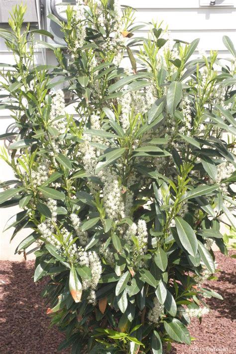 Skip Laurel Plant Russian Laurel Images Frompo