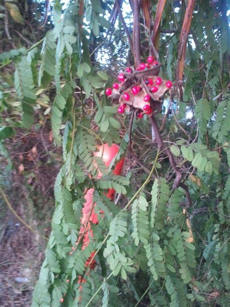 rosary bead plant rosary peas abrus precatorius lake worth fl lethal dose