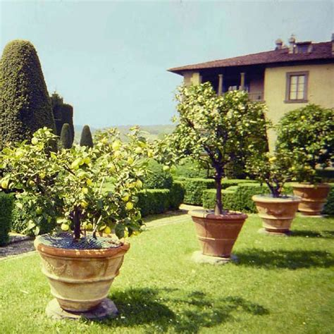 patio fruit trees in containers potted lemon tree image credit florence tuscany