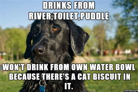 Black Lab Meme - trending funny black lab memes memeaddicts