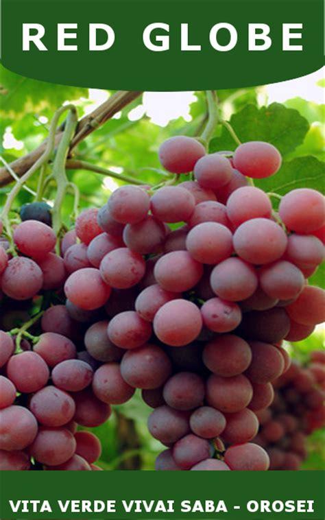 barbatelle uva da tavola uva da tavola viti innestate in vaso 10
