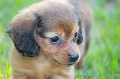 dachshund puppies houston pin by gentry on adorable