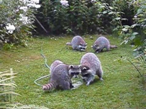 How To Keep Raccoons Out Of Your Garden by Raccoons With Garden Hose