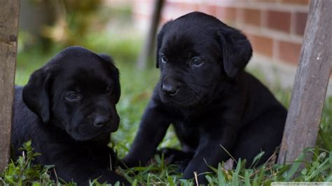 labrador puppy pics labrador puppies wallpaper 820707
