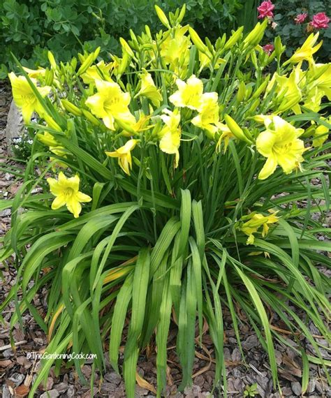 hardy perennials my top 14 favorites the gardening cook