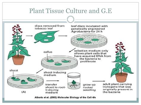 plant cell tissue and organ culture cell suspension plant tissue culture a rice plant growing in nutrient rich