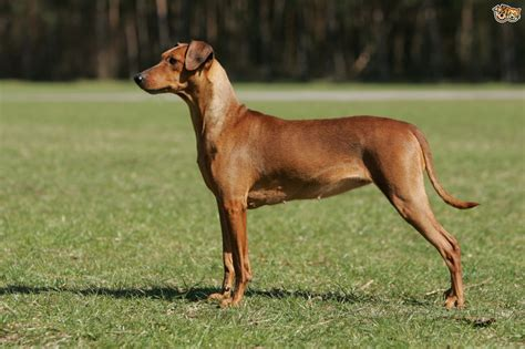 pinscher dogs pinscher breed information buying advice photos and facts pets4homes