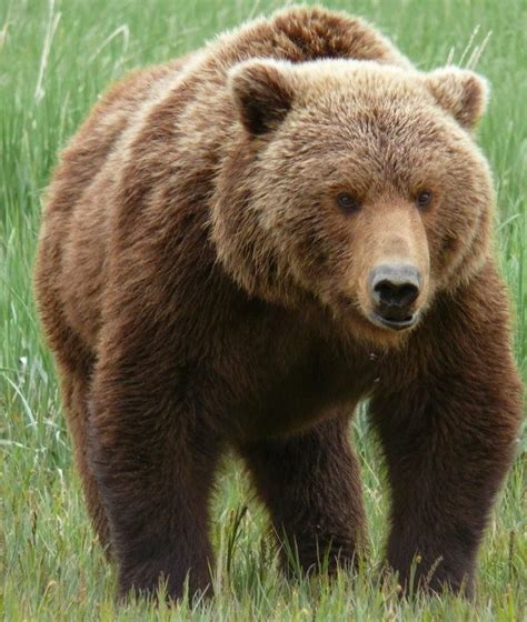 brown bear brown bear 0241137292 what is the difference between a brown bear and a grizzly bear quora