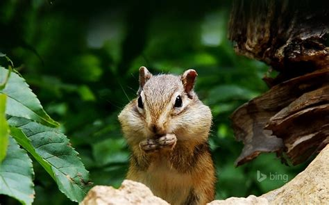 bing pictures as wallpaper squirrel cute squirrel close up bing theme wallpaper wallpapers