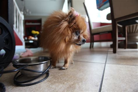 pomeranian sounds how to stop your pomeranian barking incessantly pommy