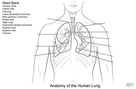 printable worksheets on the lungs human lungs worksheet coloring page free printable