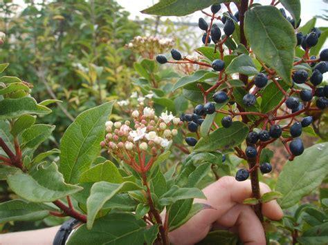 Arbuste Baies Noires by File Baies Noires Jpg Wikimedia Commons
