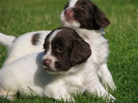 spaniel puppies for sale liver and white springer spaniel puppies for sale southport merseyside pets4homes