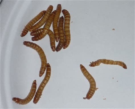 a great science activity working with mealworms