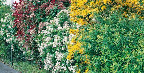 fiori da siepe siepi fiorite sempreverdi piante da siepe fiorite