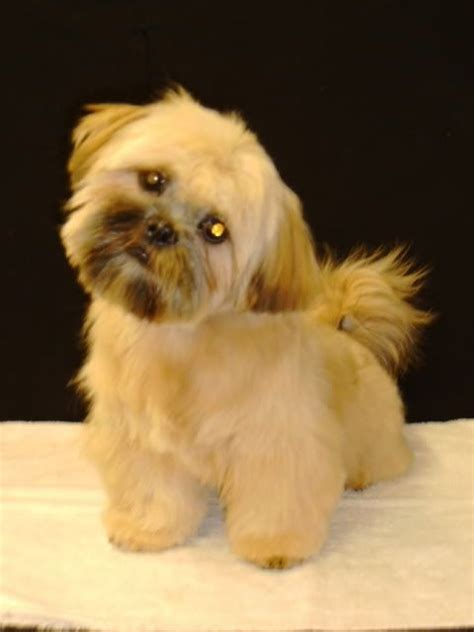 shih tzu cuts styles 16 best shih tzu hair cuts images on pinterest shih tzus