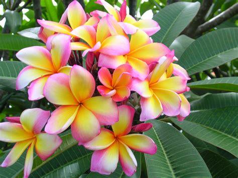 flower colors aussie confetti plumeria plumeria by florida colors nursery