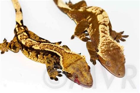 crested gecko colors types of crested gecko color morphs pets