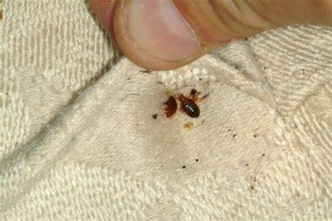 getting high off bed bugs bed bugs bite the wallet of hotel owners sciencedaily