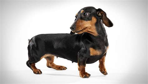 dotsons puppies dachshund miniature breed selector animal planet