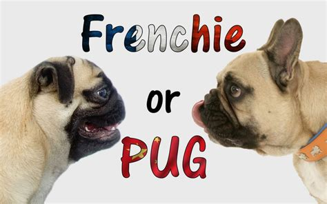 pug a bull bulldog or pug how to tell the difference dogaholic