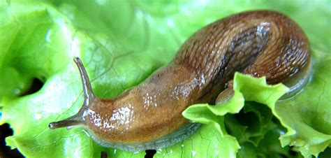Garden Slug by 12 Organic Ways To Keep Your Garden Free Of Slugs