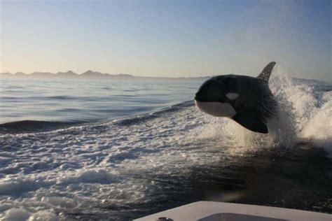 orca whale attacks fishing boat killers at play extraordinary photos of orcas chasing