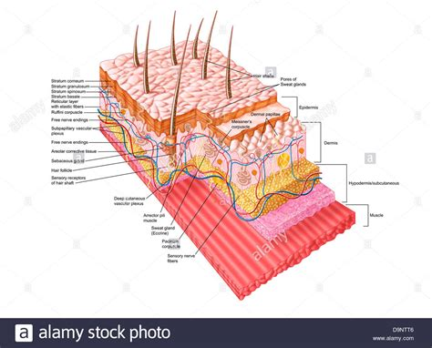 skin structure stock photos royalty free skin structure images depositphotos 174 anatomy of the human skin stock photo royalty free image 57643494 alamy