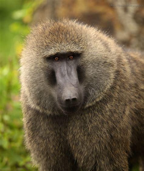 scimmia sedere rosso babbuino animalinelmondo