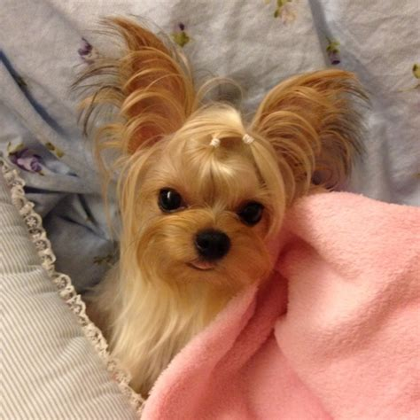 how big is a yorkies stomach 92 best my baby puppuru d images on yorkies animals and baby