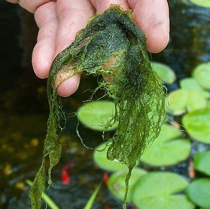 pond algae string algae green pond water in ponds and