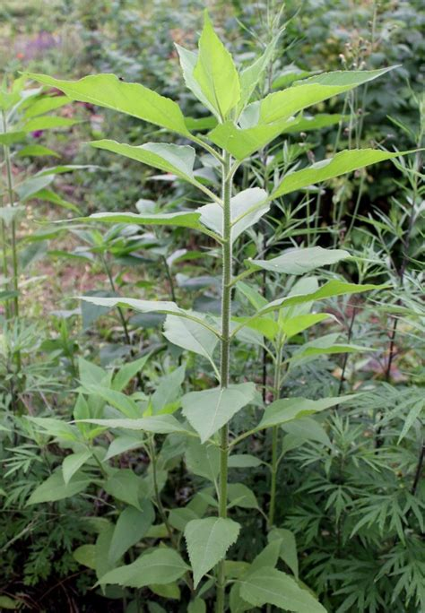 Topinambur Garten Pflanzen by Topinambur Helianthus Tuberosus Topinambur Garten Wissen