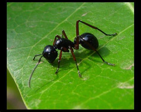 black ants panoramio photo of black ant