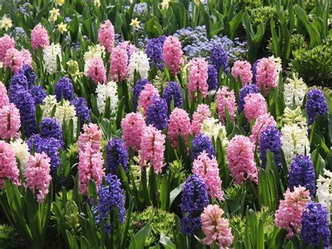 fiori di giacinto giacinto bulbi come coltivare il giacinto