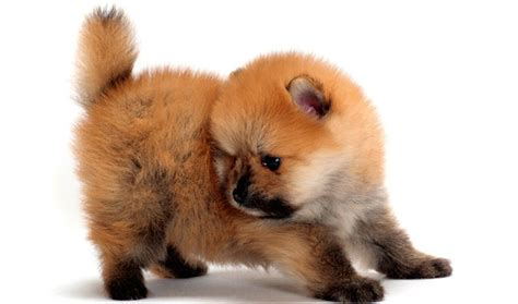 miniature pomeranian teacup pomeranian for sale with price and from breeders
