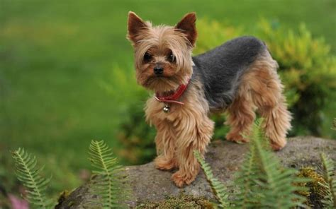 how do yorkies live on average dogsbreedscenter best breeds pictures information and reviews