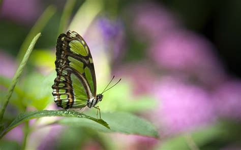 wallpaper green butterfly green butterfly wallpapers hd wallpapers id 10723