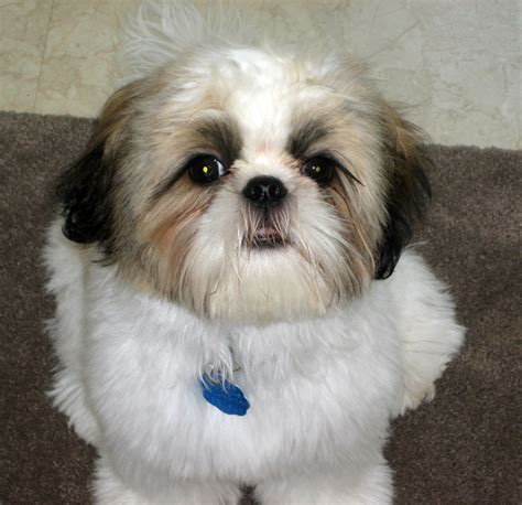 what of food is best for shih tzu best food for shih tzu pet photos gallery ngx3nb3jz5