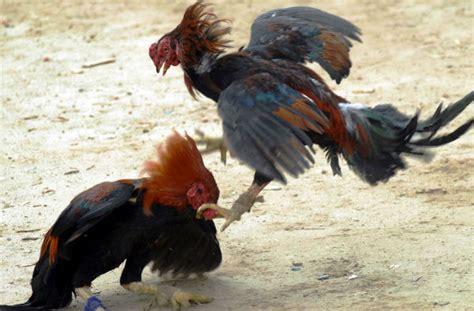 gallos de pelea navajas gallos de pelea 191 cu 225 l es el origen del t 233 rmino quot amarra navajas quot planeta