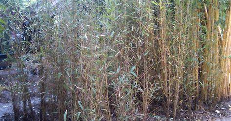 Bibit Bambu Jepang bambu telisik bambu jepang jual tanaman hias