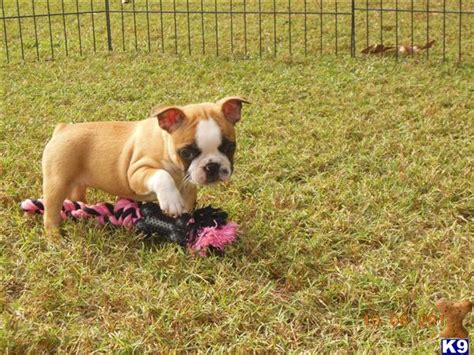 frenchton puppies price bulldog puppy for sale frenchton puppies 5 years