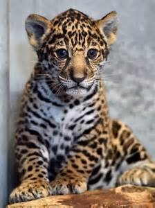 Jaguars Cubs San Diego Zoo S Jaguar Cub Needs A Name Zooborns