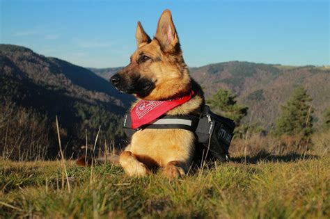 most loyal breed top 10 most loyal breeds that will never leave your side dogvills