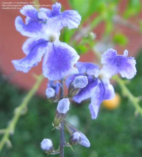 plantfiles pictures brazilian sky flower duranta